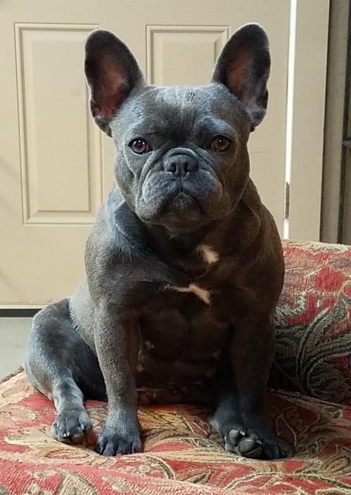 French Bulldog Breeder Bulldogs For Sale In Oklahoma S J