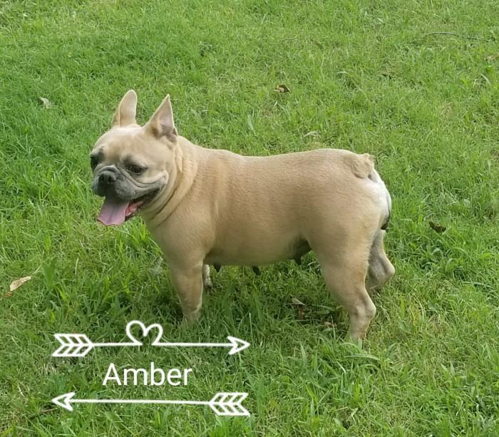 French Bulldog Breeder - Bulldogs for Sale in Oklahoma | S