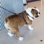 Male English Bulldog for Sale
