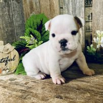 Daisy – White with Fawn ear – Female